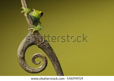 green tree frog amphibian treefrog tropical amazon rainforest branch copy space background twig with curled spine beautiful night animal of amazon rain forest exotic jungle species nocturnal - stock photo