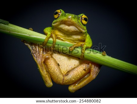 green tree frog hanging on - stock photo