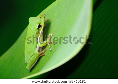 green tree frog Hyla cinerea - stock photo