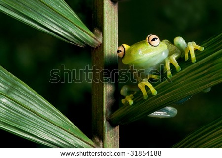 green tree frog Hypsiboas cinerascens on a palm leaf in Bolivian amazon rain forest tropical night animal and endangered amphibian