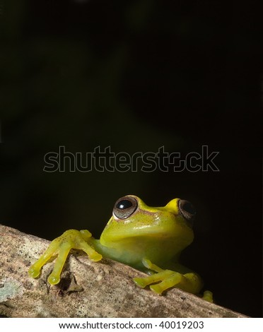 green tree frog hypsiboas cinerescens  peeping over branch tropical jungle frog of amazonian rain forest with copy space
