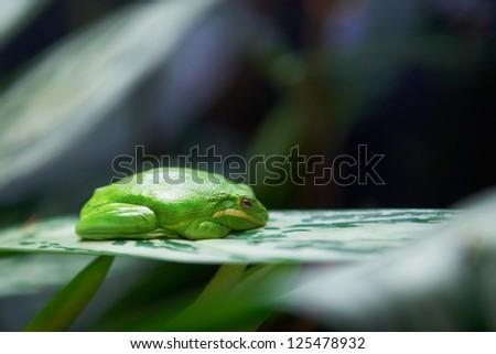 Green tree frog (Litoria caerulea) sleeping on the tree - stock photo