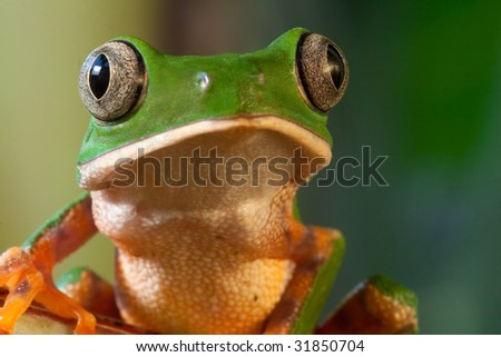 green tree frog  Monkey frog Phyllomedusa tomopterna beautiful amphibian of amazon rain forest nocturnal animal with big eyes tropical  exotic frog from jungle with copy space