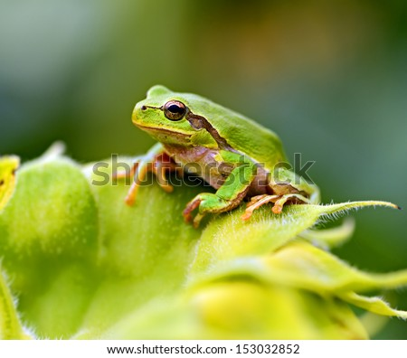 Green tree frog on a branch - stock photo
