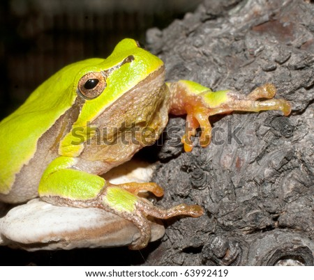 Green Tree Frog on a branch (Hyla arborea) - stock photo