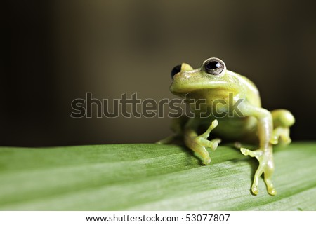 green tree frog on leaf in tropical amazon rainforest background with copy space - stock photo
