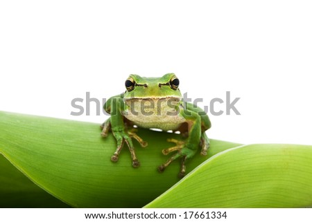 Green Tree Frog on leaf isolated on white background. Shallow DOF. - stock photo
