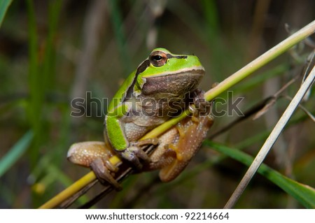 Green tree frog on the stick - stock photo