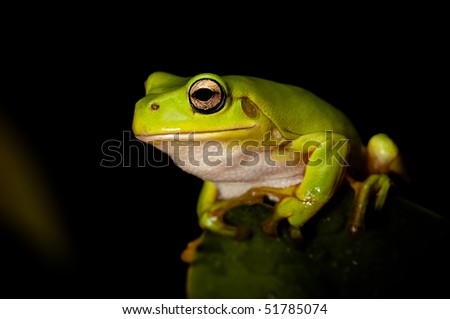 Green tree frog sitting on a leaf, against a black background  Part of a series