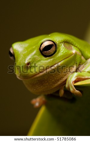 Green tree frog sitting on a leaf.  Part of a series - stock photo
