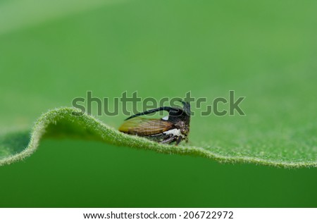 Green tree hopper on green leaf, close up.