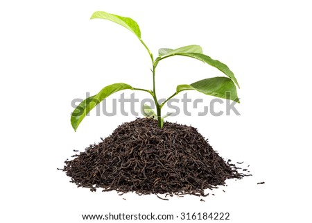 Green tree in a handful of tea isolated on white background. - stock photo