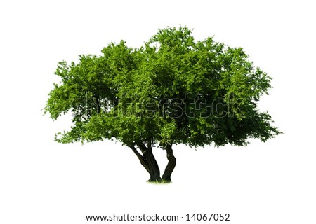 green tree isolated on white - stock photo