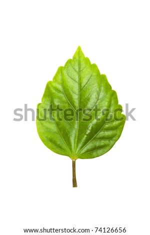 green tree leave high resolution isolated on white background - stock photo