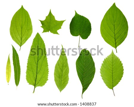 Green tree leaves summer nature collection isolated white background - stock photo