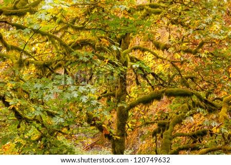 Green Tree Moss Colorful Fall Autumn Leaves Multnomah Falls Columbia River Gorge, Oregon, Pacific Northwest - stock photo