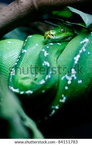 Green Tree Python Chondropyhon viridis Green Snake - stock photo