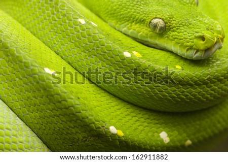 green tree python full - stock photo