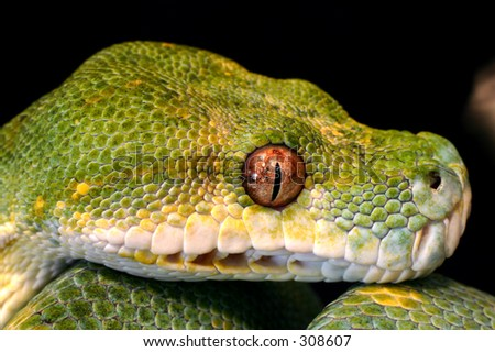 Green Tree Python Head Shot - stock photo