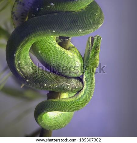 Green Tree Python, Morelia Viridis - stock photo