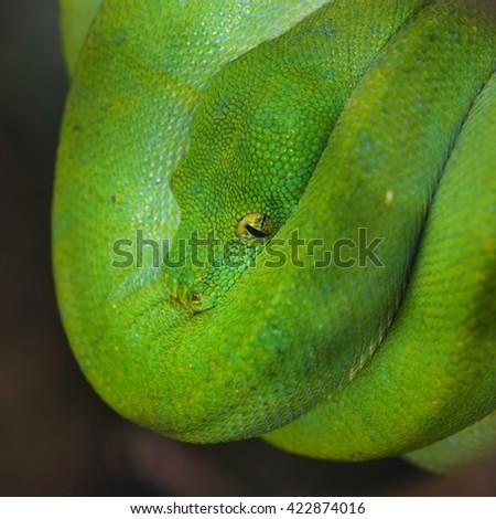 Green tree python Morelia viridis. Young green snake folded on a stick. - stock photo