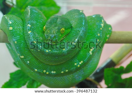 Green Tree Python on a branch - stock photo