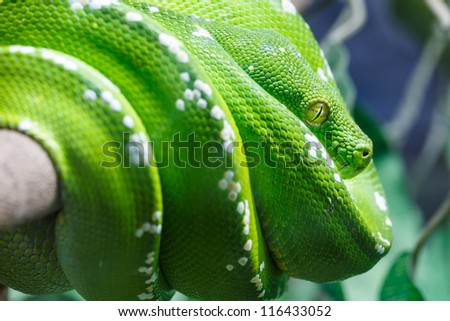 Green tree python snake on a branch with green leaves, Closeup to the eye - stock photo