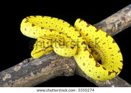 Green Tree Python (yellow phase) - stock photo