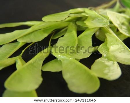 green tree seeds - stock photo