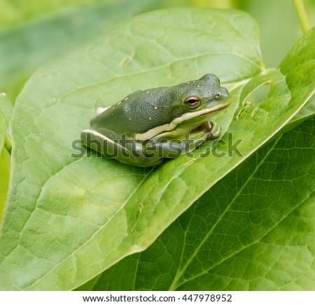 Green Treefrog (Hyla cinerea) resting on a leaf - stock photo