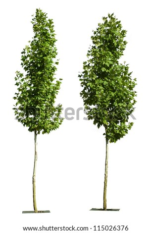 Green trees isolated on white. Decorative green tree - stock photo