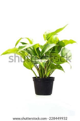 Green trees suitable for planting in residential areas. - stock photo