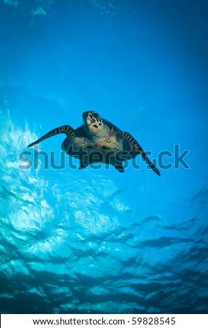 Green turtle - stock photo