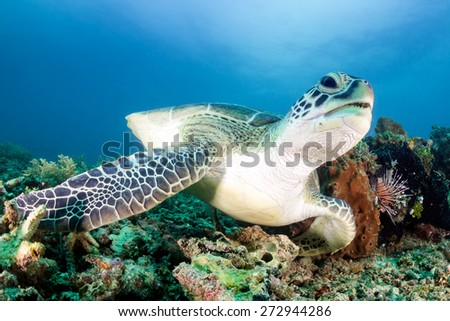 Green Turtle and Lionfish on a tropical coral reef - stock photo