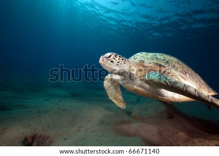 Green turtle and ocean.