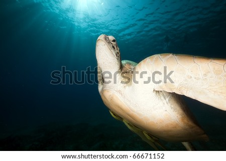 Green turtle and ocean. - stock photo