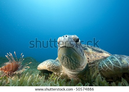 green turtle and sea grass - stock photo