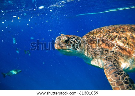 Green turtle at sea surface - stock photo