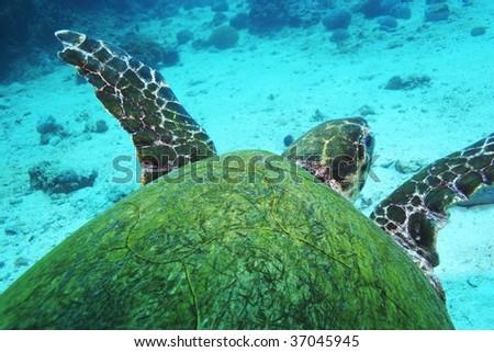 green turtle, back shot - stock photo
