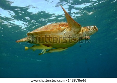 Green turtle (Chelonia mydas) flying on crystal clear water to take a breath at shallow water, with two remoras. Marsa Alam, Red sea, Egypt - stock photo