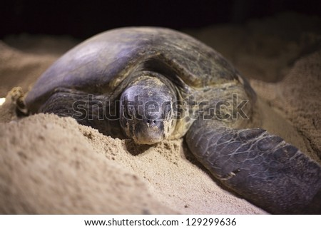 Green turtle (Chelonia mydas) laying her eggs on the beach at night. - stock photo