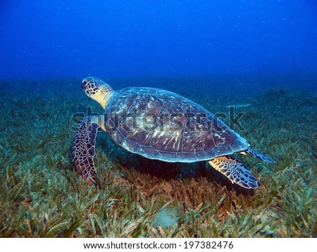 Green turtle (Chelonia mydas) on seagrass