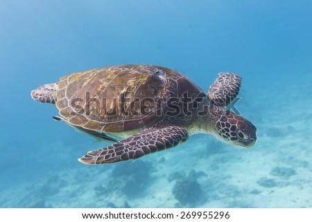 Green Turtle (Chelonia mydas) swimming at Similan island, Thailand - stock photo