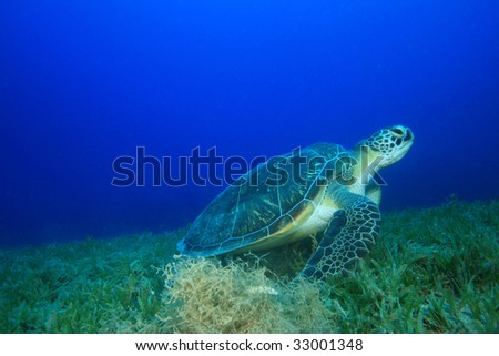 Green Turtle eating Seagrass