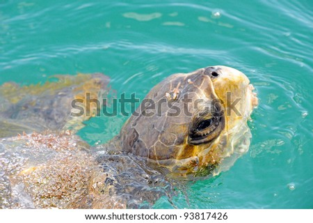 Green Turtle in Ballena National Park, Costa Rica - stock photo