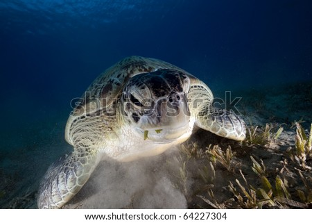 Green turtle in the Red Sea. - stock photo