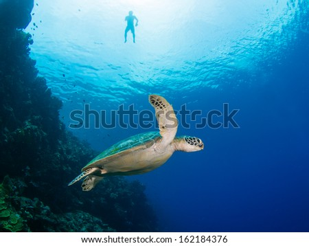 Green turtle on a coral reef in Indonesia, Bunaken Island - stock photo