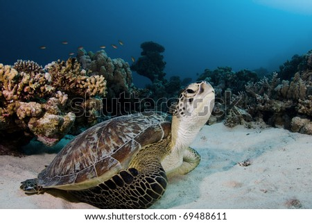 Green turtle on the house reef at Marsa Shagra in the Red Sea, Egypt - stock photo