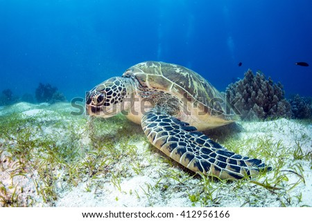 Green Turtle on the sea bed eating seagrass.  - stock photo