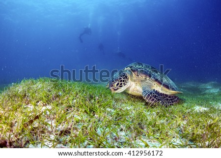 Green Turtle on the sea bed eating seagrass.
